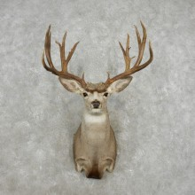 Mule Deer Taxidermy Shoulder Mount For Sale #17413 @ The Taxidermy Store