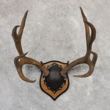 Mule Deer Taxidermy Plaque #19005 For Sale @ The Taxidermy Store