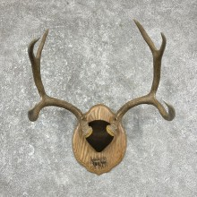 Mule Deer Taxidermy Plaque #25290 For Sale @ The Taxidermy Store