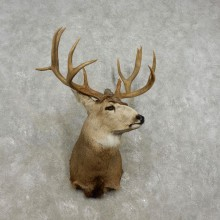 Mule Deer Shoulder Mount For Sale #17326 @ The Taxidermy Store