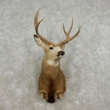 Mule Deer Shoulder Mount For Sale #17327 @ The Taxidermy Store