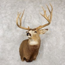 Mule Deer Taxidermy Shoulder Mount For Sale #18773 @ The Taxidermy Store