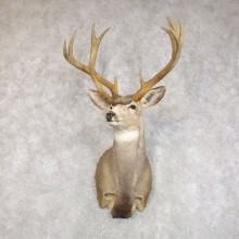 Mule Deer Taxidermy Shoulder Mount For Sale #22271 @ The Taxidermy Store