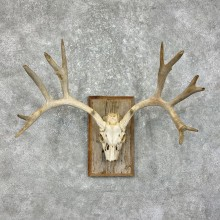 Mule Deer Taxidermy Skull Antler Mount #25337 For Sale @ The Taxidermy Store