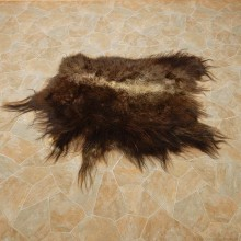 Muskox Hide For Sale #14732 @ The Taxidermy Store