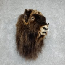 Greenland Muskox Taxidermy Shoulder Mount For Sale