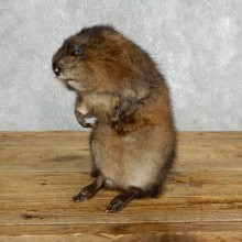 Muskrat Life Size Taxidermy Mount #18013 For Sale @ The Taxidermy Store