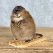 Muskrat Life Size Taxidermy Mount #21700 For Sale @ The Taxidermy Store