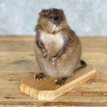 Muskrat Life Size Taxidermy Mount #21706 For Sale @ The Taxidermy Store