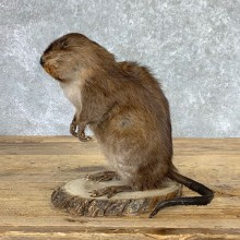 Muskrat Life Size Taxidermy Mount #22945 For Sale @ The Taxidermy Store