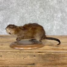 Muskrat Life Size Taxidermy Mount #23006 For Sale @ The Taxidermy Store