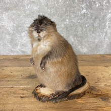 Muskrat Life-Size Taxidermy Mount For Sale