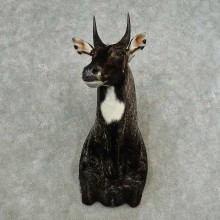 Nilgai Antelope Taxidermy Shoulder Mount For Sale #16755 @ The Taxidermy Store