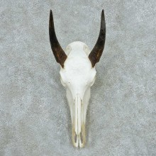Nilgai Skull Horns European Mount #13646 For Sale @ The Taxidermy Store