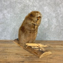 North American Beaver Mount For Sale #23173 @ The Taxidermy Store