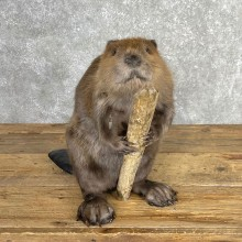 North American Beaver Mount For Sale #24067 @ The Taxidermy Store