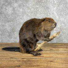 North American Beaver Mount For Sale #24068 @ The Taxidermy Store