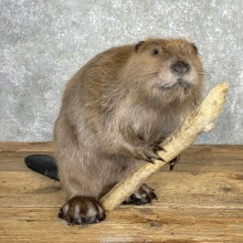 North American Beaver Mount For Sale #24070 @ The Taxidermy Store
