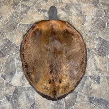 North American Beaver Rug For Sale #23663 @ The Taxidermy Store