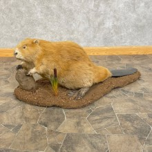 North American Blonde Beaver Taxidermy Mount For Sale