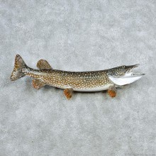 Northern Pike Taxidermy Fish Mount #13046 For Sale @ The Taxidermy Store