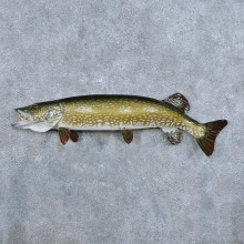 Northern Pike Fish Mount For Sale #14340 @ The Taxidermy Store