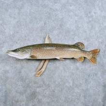 Northern Pike Fish Mount For Sale #14347 @ The Taxidermy Store