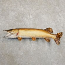 Northern Pike Fish Taxidermy Mount For Sale #20894 @ The Taxidermy Store