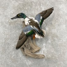 Northern Shoveler Taxidermy Duck Mount For Sale