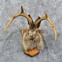 Novelty Jackalope Shoulder Mount #11609 - For Sale @ The Taxidermy Store