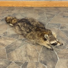 Novelty Raccoon Life-Size Mount For Sale #21300 @ The Taxidermy Store