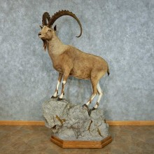 Nubian Ibex Life Size Mount #13460 For Sale @ The Taxidermy Store