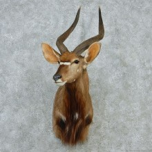 Nyala Mount M1 #12840 For Sale @ The Taxidermy Store