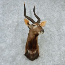 African Nyala Shoulder Taxidermy Mount #12984 For Sale @ The Taxidermy Store