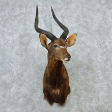 African Nyala Taxidermy Shoulder Mount #12889 For Sale @ The Taxidermy Store