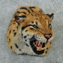 Ocelot Taxidermy Shoulder Mount #12923 For Sale @ The Taxidermy Store