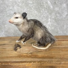 Opossum Life-Size Taxidermy Mount For Sale