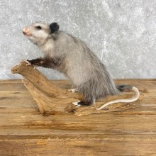 Opossum Life-Size Taxidermy Mount For Sale #24465 @ The Taxidermy Store