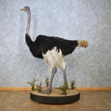 Standing Ostrich Life-Size Mount For Sale #15082 @ The Taxidermy Store