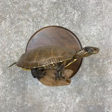 Painted Turtle Taxidermy Mount For Sale - #21422