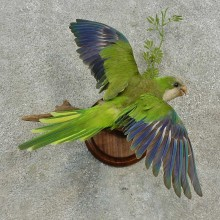 Monk Parakeet Bird Mount For Sale #16649 @ The Taxidermy Store