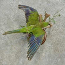 Monk Parakeet Bird Mount For Sale #16650 @ The Taxidermy Store