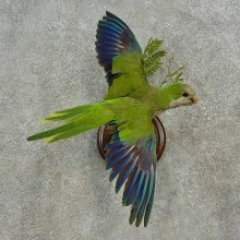 Monk Parakeet Bird Mount For Sale #16651 @ The Taxidermy Store
