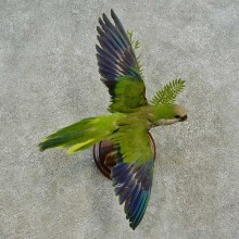 Monk Parakeet Bird Mount For Sale #16653 @ The Taxidermy Store