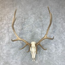 Pathology Rocky Mountain Elk Skull Mount For Sale #22647 @ The Taxidermy Store