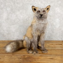 Pearl Cross Fox Taxidermy Mount For Sale