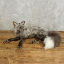 Pearl Fox Life-Size Mount For Sale #17543 @ The Taxidermy Store
