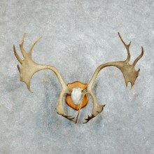 Peary Caribou Plaque Mount For Sale #18381 @ The Taxidermy Store