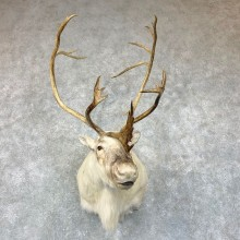 Peary's Caribou Shoulder Mount For Sale #22893 @ The Taxidermy Store