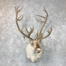 Peary's Caribou Shoulder Mount For Sale #23692 @ The Taxidermy Store
